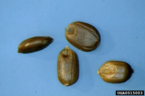 Kikuyu grass seeds are 1.5-2.5 mm in length (Photo: USDA APHIS PPQ Archives, USDA APHIS PPQ, www.forestryimages.org)