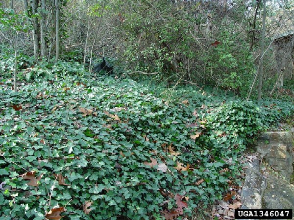 Hedera helix infestation (Photo: Chris Evans, The University of Georgia, www.forestryimages.org)