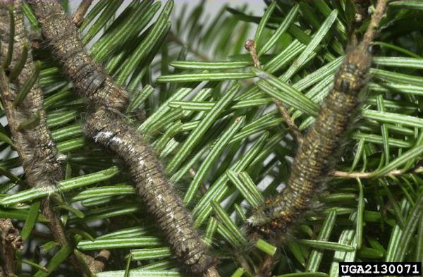 Siberian silk moth larvae  (Photo: David R. Lance, USDA APHIS PPQ, United States, www.invasive.org)