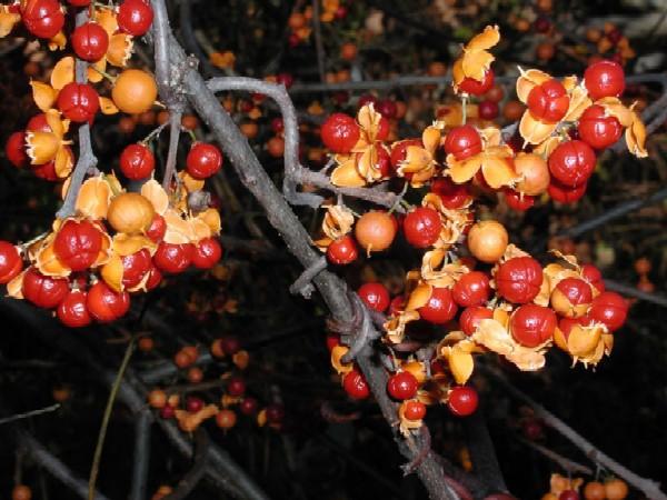Celastrus orbiculatus fruits (Photo: Leslie J. Mehrhoff, University of Connecticut, www.forestryimages.org)