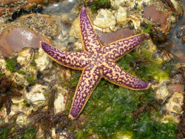 Asterias amurensis dorsal view (Photo: Wikimedia Commons)
