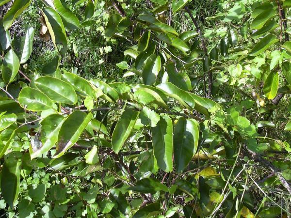 Annona glabra (Photo: USGS)