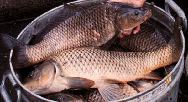 Common carp (Photo: Konrad Schmidt, General College and James Ford Bell Museum of Natural History, University of Minnesota)