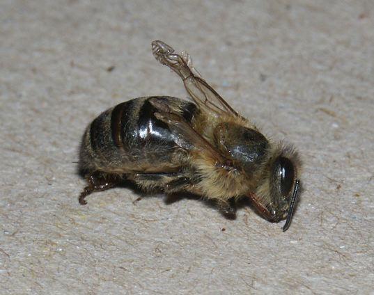 Bee damaged by Deformed wing virus (DWV), (Photo: Ingemar Fries)