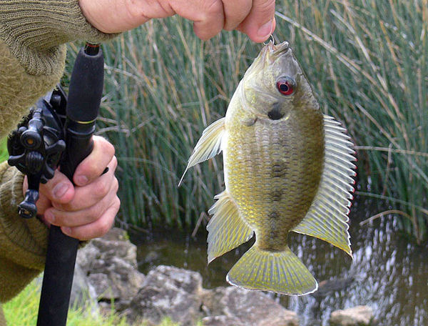 Tilapia mariae (Photo: Andrew Miller/Soulkeeper, www.commons.wikimedia.org)