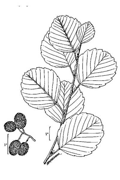 Alnus glutinosa (Photo: USDA-NRCS PLANTS Database)