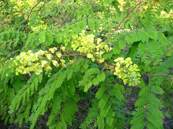 Caesalpinia decapetala (Photo: Rob Mackenzie, Swaziland s Alien Plants Database)