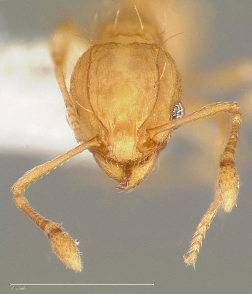 Wasmannia auropunctata (Photo: RO Schuster, AntWeb, hosted by California Academy of Sciences)