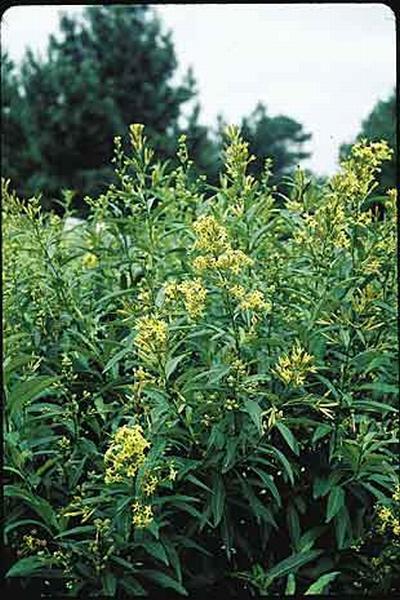 Cestrum parqui (Photo: Plant Delights Nursery Inc.)