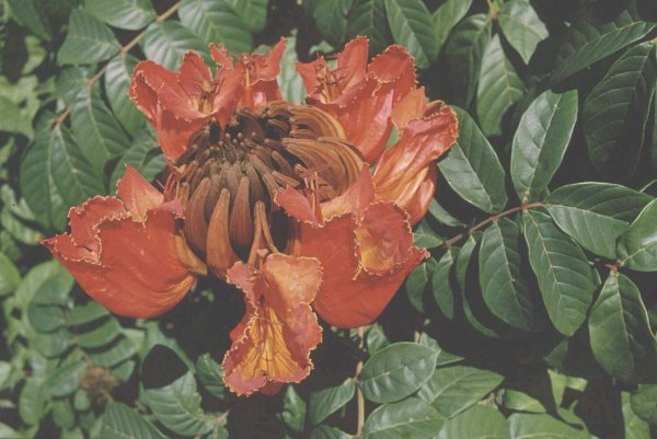 Flowers of Spathodea campanulata at Darwin, Northern Territory (Photo: Colin Wilson)