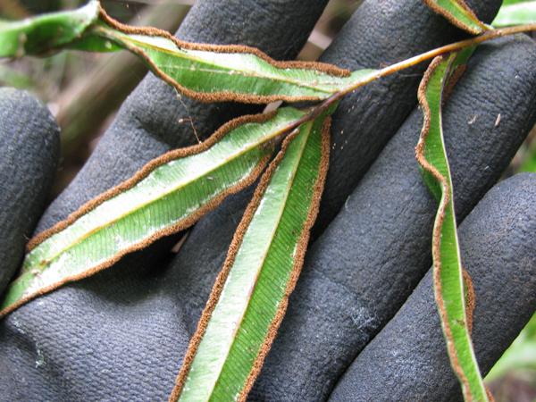 Pteris cretica (Photo: Forest & Kim Starr)