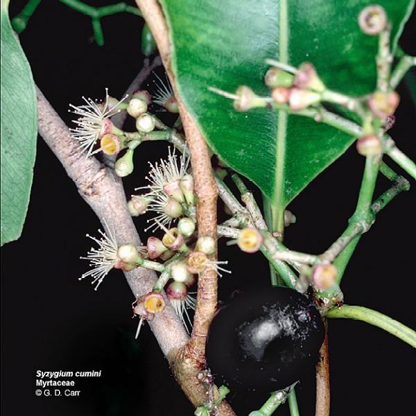 Syzygium cumini (Photo: Dr Gerald Carr, University of Hawai i)