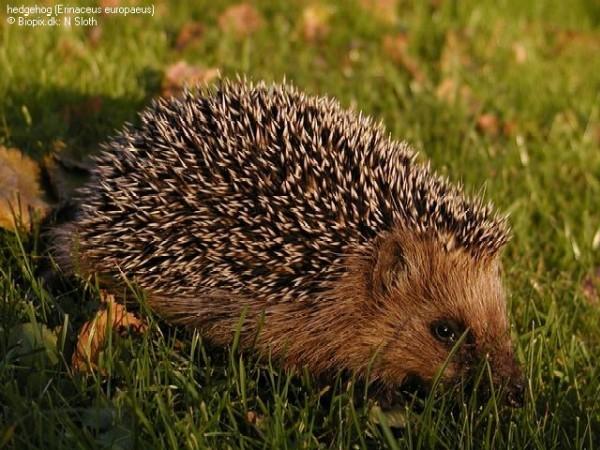 Erinaceus europaeus (Photo: Niels Sloth, http://www.biopix.dk)